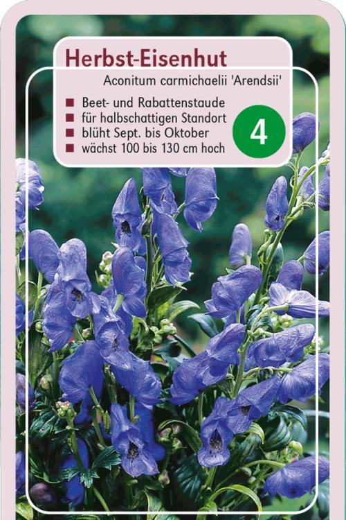 Aconitum carmichaelii 'Arendsii' - Herbst-Eisenhut